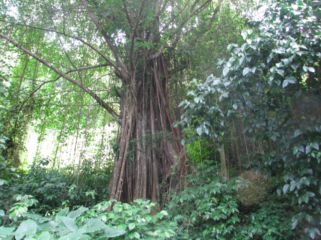 ficus-tree